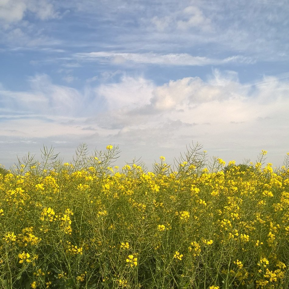 sky with white clouds over a rape field