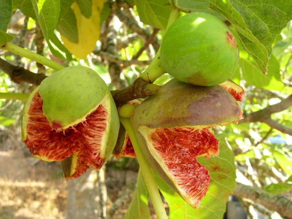 ripe figs on the tree in Mallorca