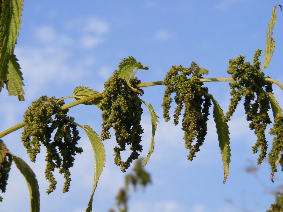 green ripe seeds of nettle on a branch