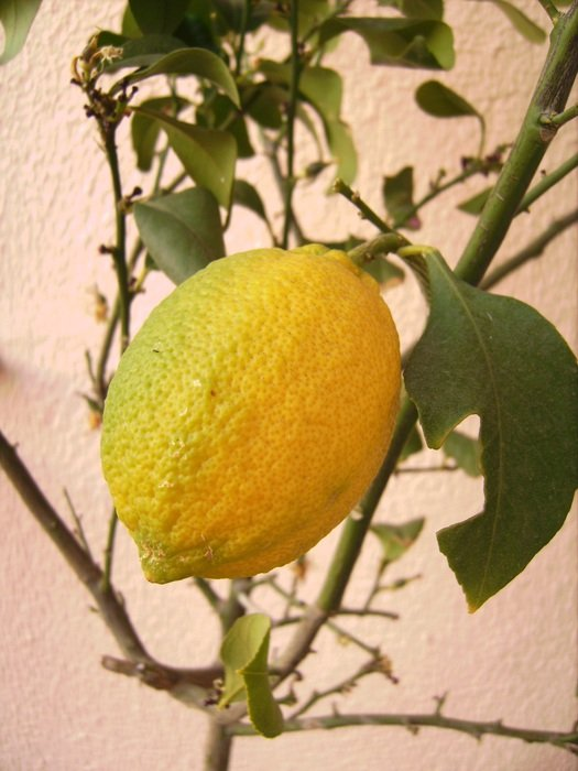 ripe yellow lemon on the tree