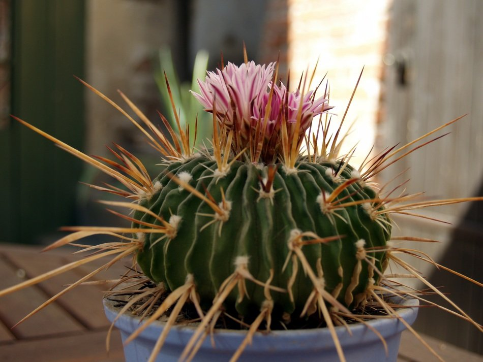blooming cactus in a pot