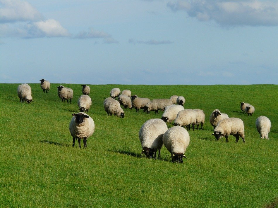 flock of sheep on green grass near the north sea