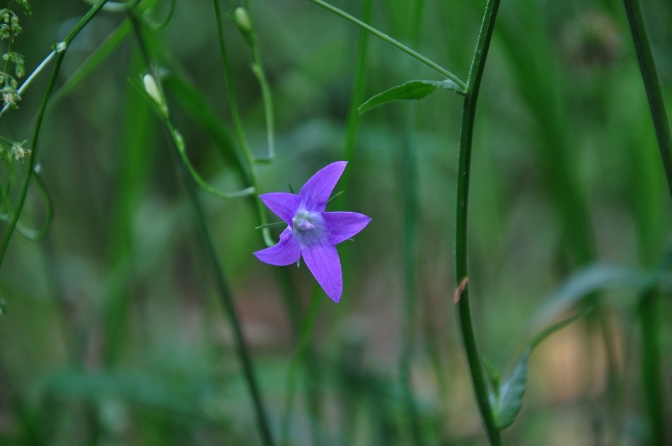 blue star is a forest flower