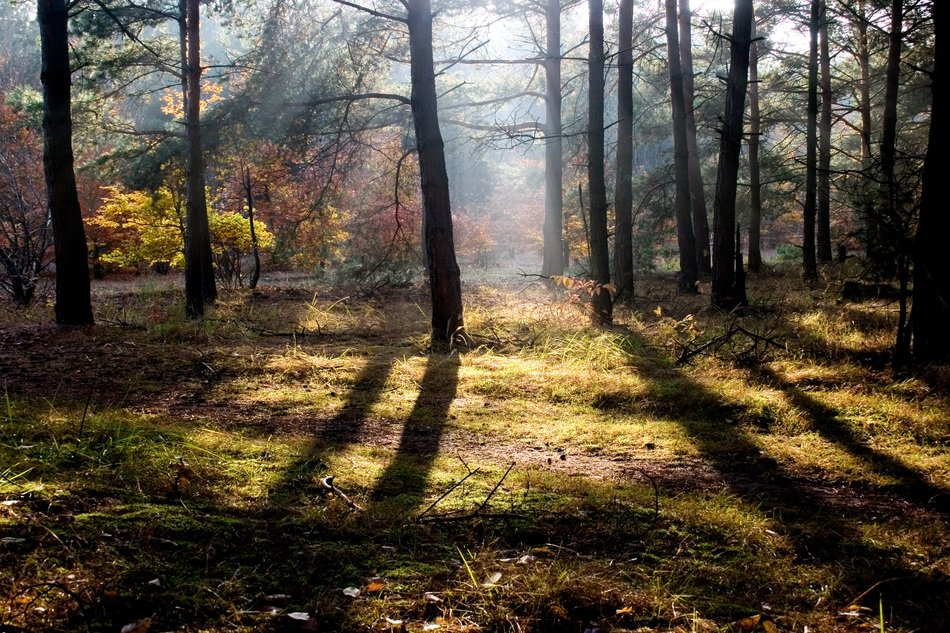 shadows of tree trunks in the autumn forest