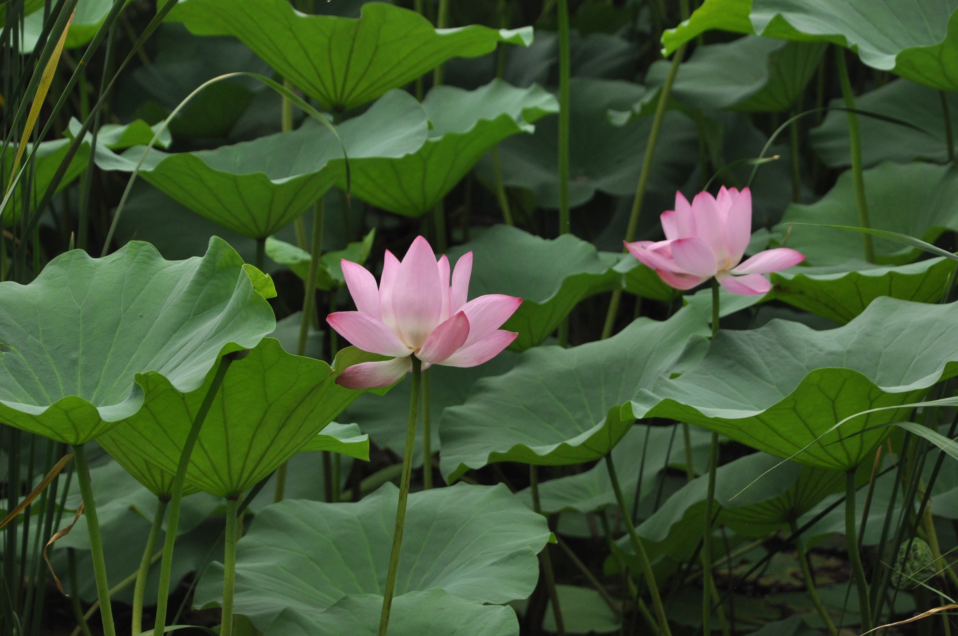 Two Lotus Flower Among The Huge Leaves Free Image