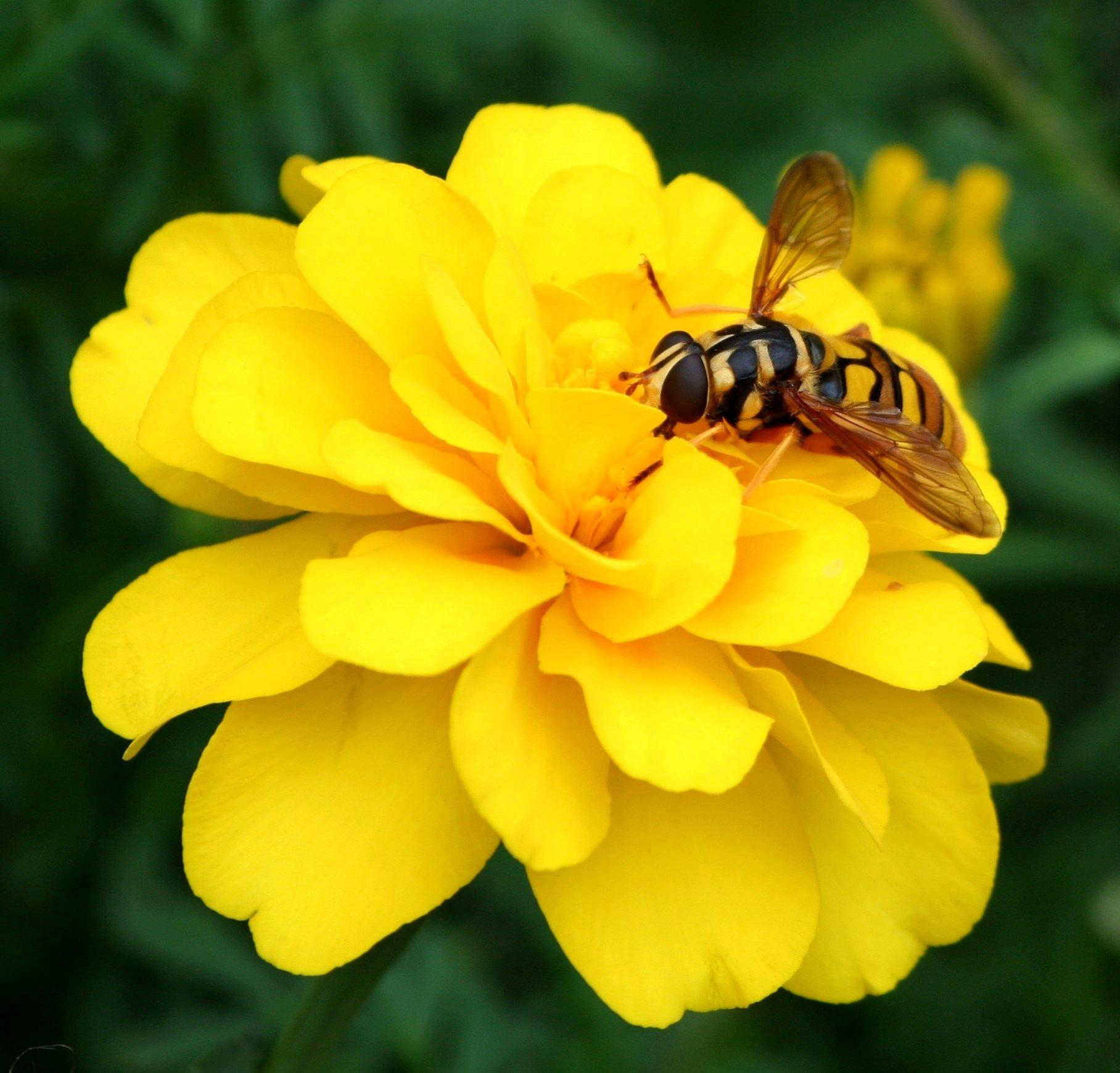 фото цветы с пчелами сбора