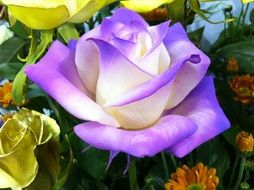 purple white rose flower
