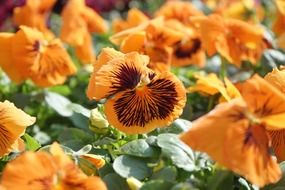 orange pansy flower blossoms