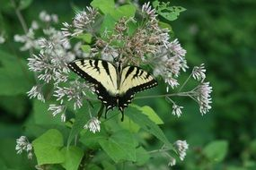 machaon is a day butterfly