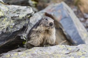 marmot animal in rocks wildlife