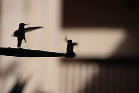 silhouettes of two hummingbirds