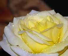 yellow rose flower with waterdrops