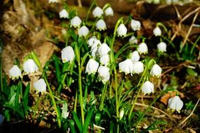 blooming snowdrops in the forest