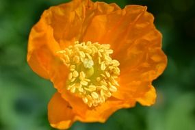 Beautiful orange poppy flower