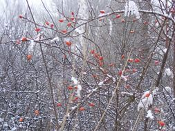 snow-covered trees with red berries