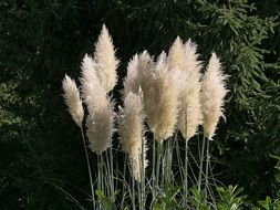 grass pampas like feathers