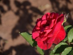 expanded red rose