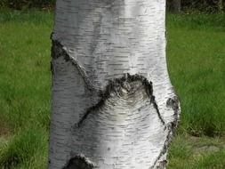 white trunk of birch close up