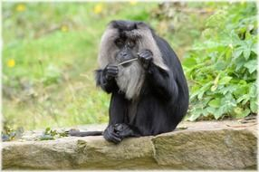 lion tailed macaque monkey mammal outdoor