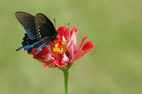 black and blue butterfly on red zinnia