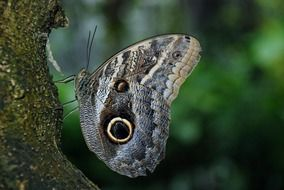 grey butterfly with eyespots