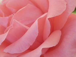 pale pink rose with large petals closeup