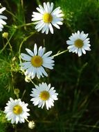 genuine chamomile flowers in nature
