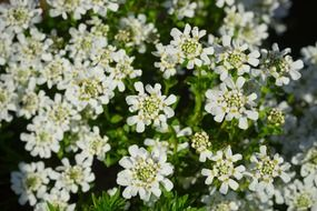 white evergreen candytuft flowers field