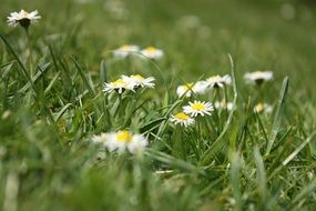 blooming daisies among green grass