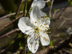 white cherry flower blossom