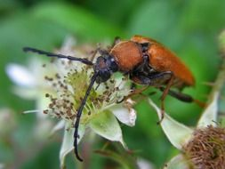 red longhorn beetle in nature