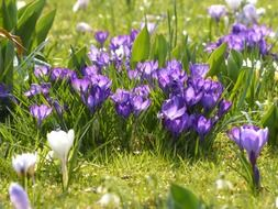 meadow with white and purple crocus flowers