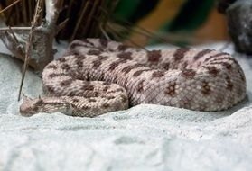spotted sand viper in Africa