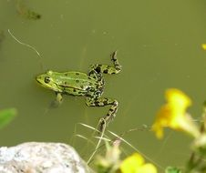 frog on a green pond