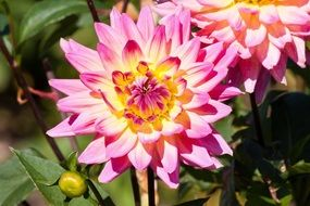 yellow pink dahlias
