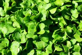 juicy green wild rocket seedlings