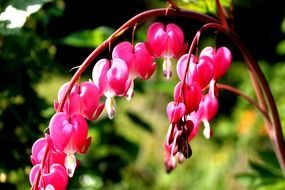 watery heart lamprocapnos spectabilis