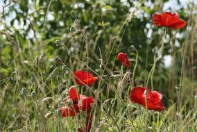 red poppies in late spring