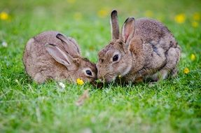 two european rabbits on green grass