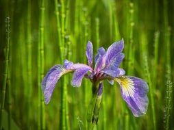 purple flower iris macro view
