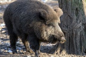 forest boar in the winter