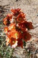 orange flowers with green leaves in the desert