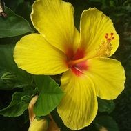 yellow hibiscus flower close up