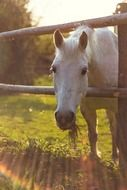 white horse looking out wooden fence