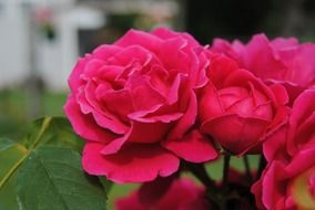 closeup picture of the pink roses