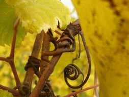 yellow leaves and dry grape branches