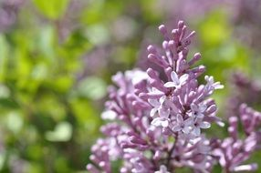 lilac is an ornamental shrub