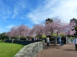beautiful cherry trees blooming in park