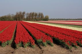 Field with tulips of different colors