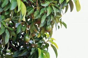 tree branch avocado fruit green